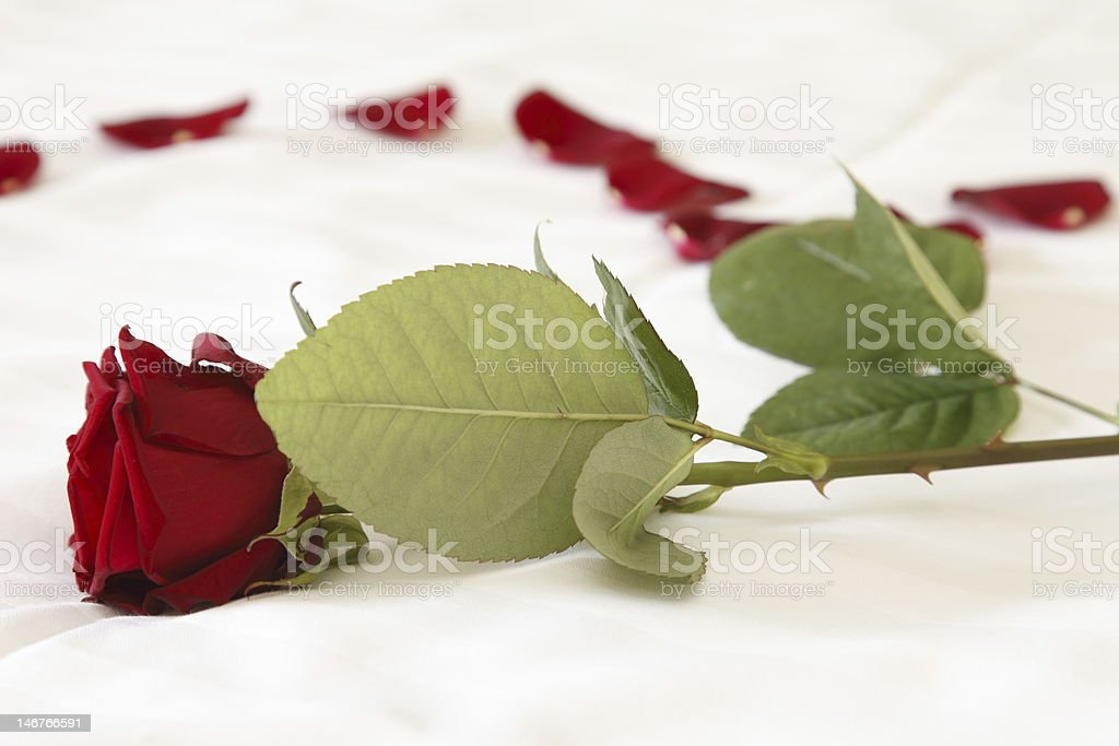 rose on bed royalty-free stock photo