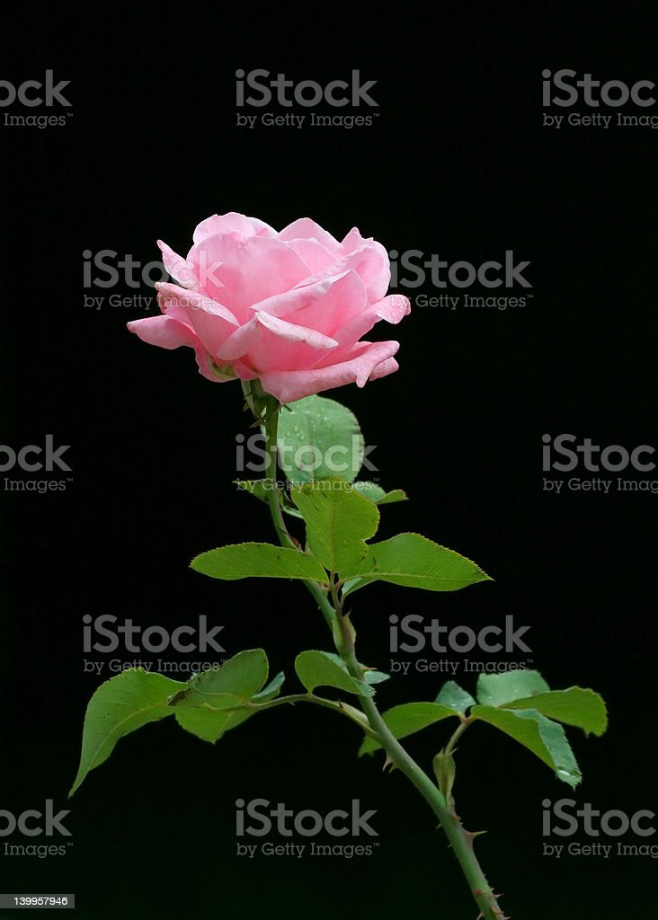 Rose on black royalty-free stock photo