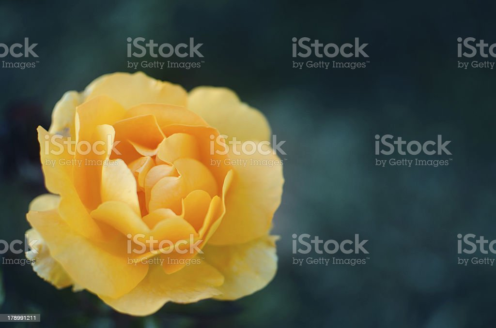 Rose on green background - summer blossom royalty-free stock photo