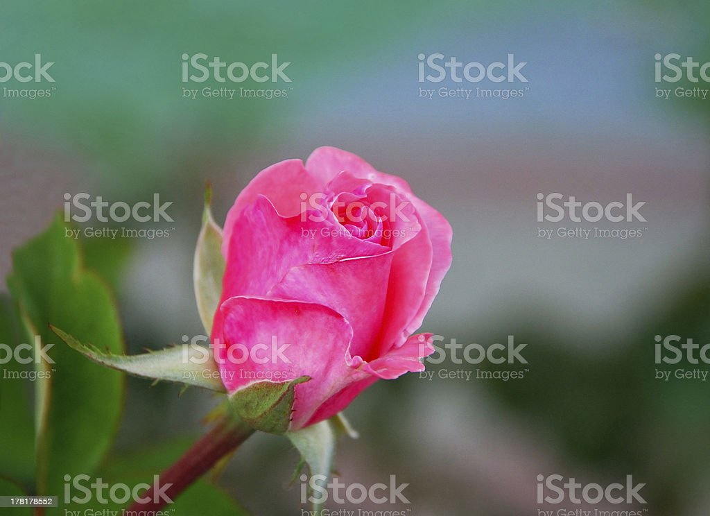 Rose on green royalty-free stock photo