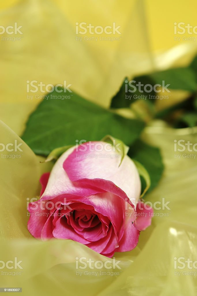 Rose on silk royalty-free stock photo
