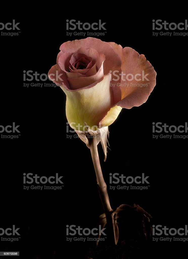 Rose on stem royalty-free stock photo