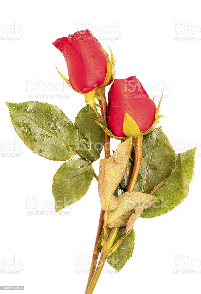 Rose on white background stock photo