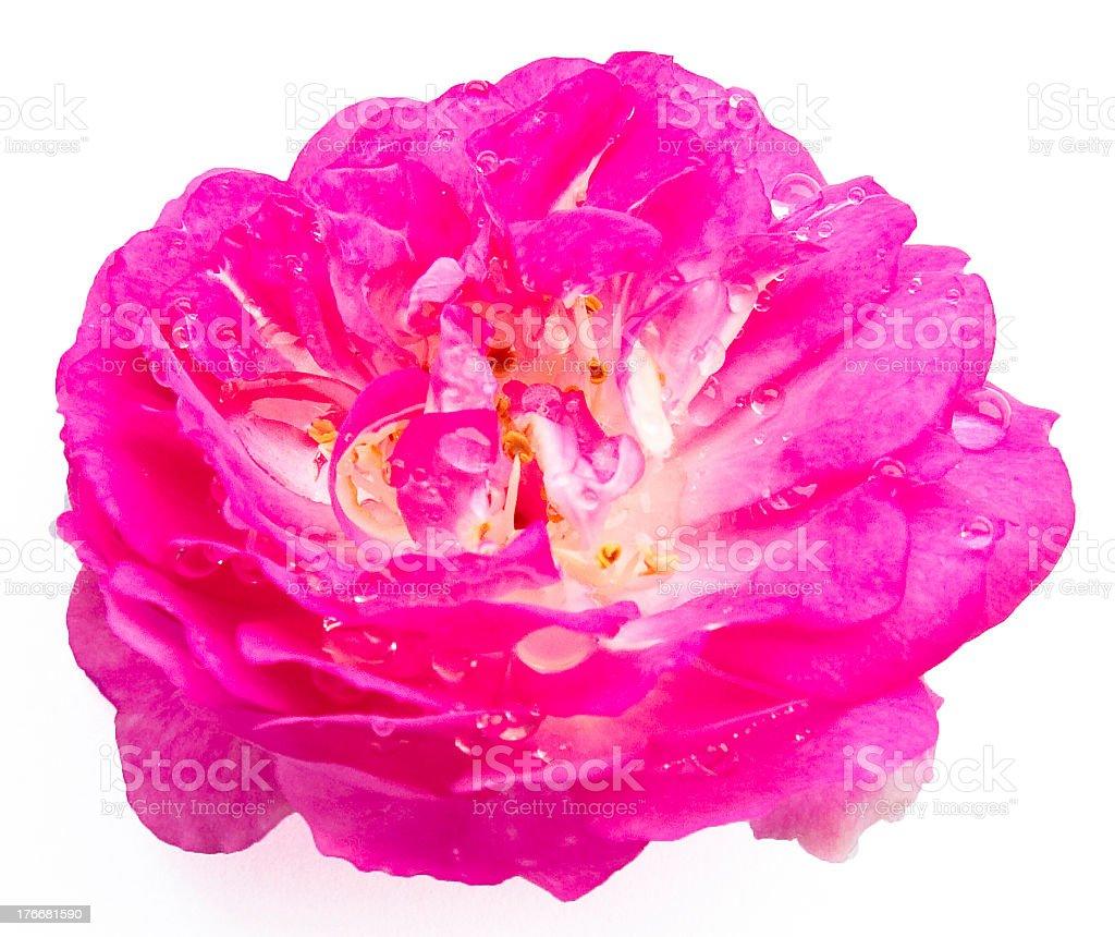Rose on White royalty-free stock photo