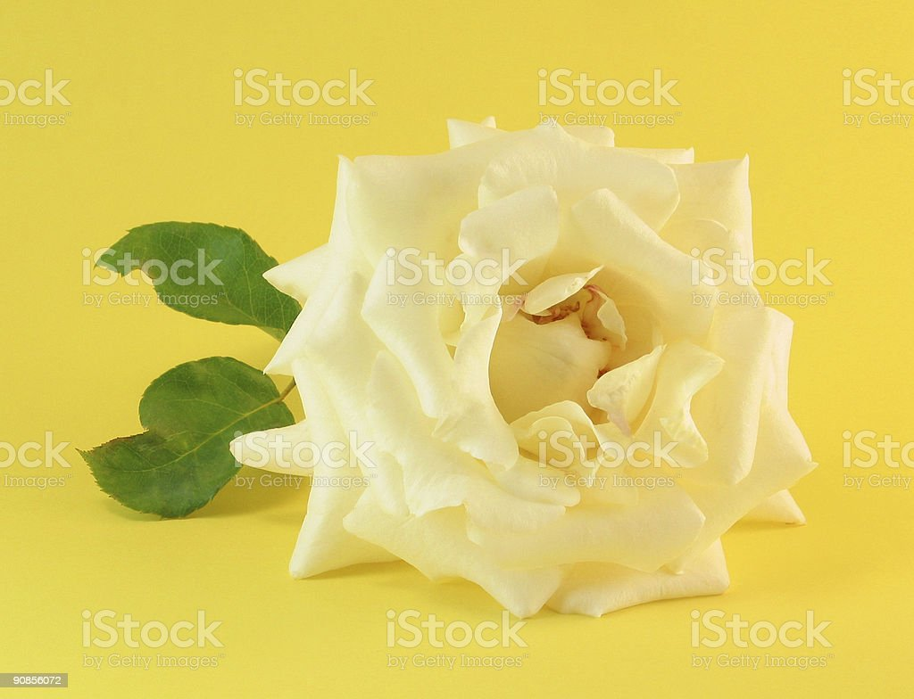 Rose on Yellow royalty-free stock photo