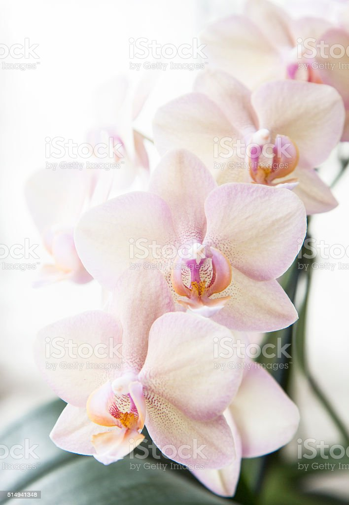 Rose Orchidea stock photo