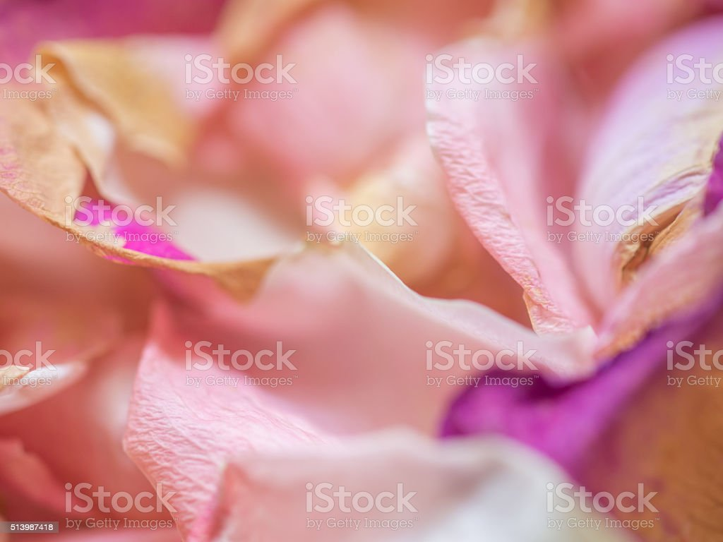 Rose petals close-up. stock photo
