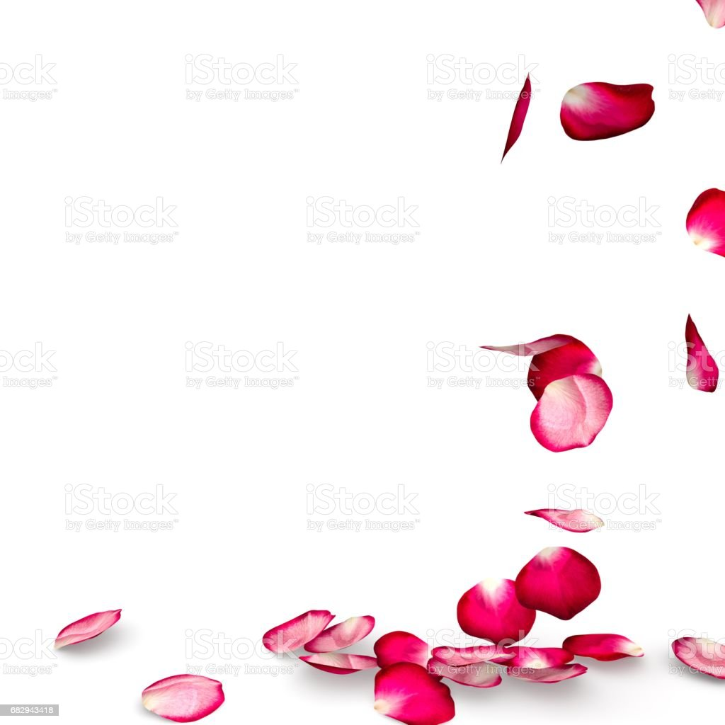 Rose petals fall to the floor stock photo