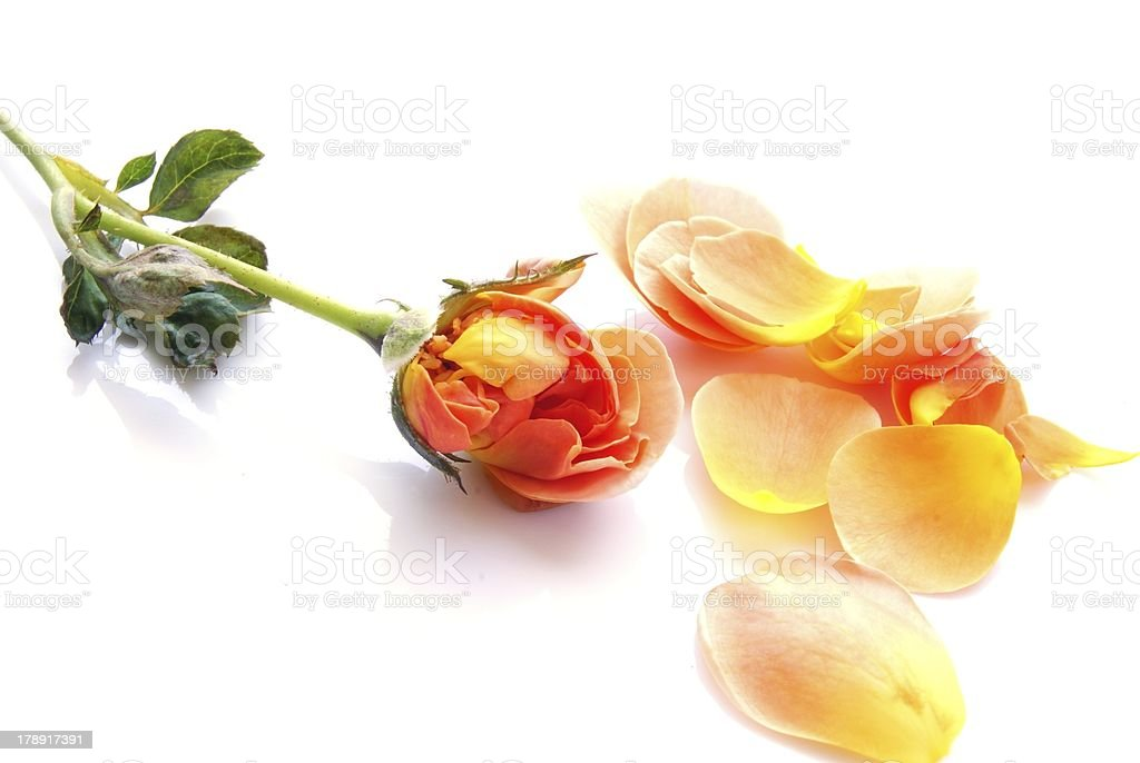 Rose petals isolated on white background royalty-free stock photo