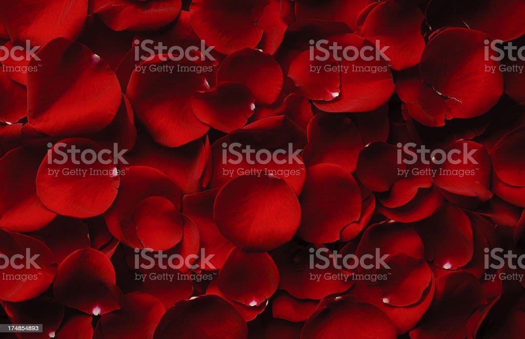Rose Petals stock photo