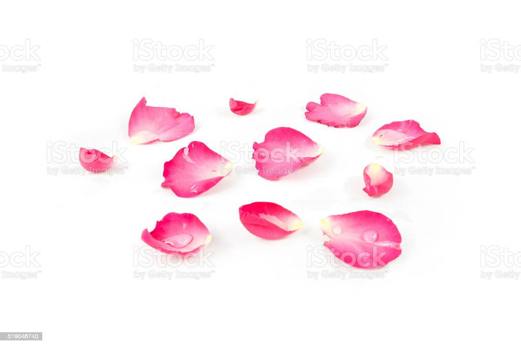 Rose petals Pink isolated on white background stock photo