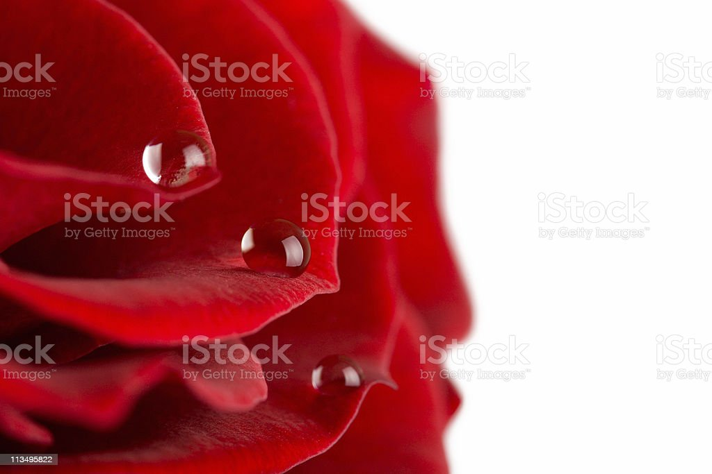 rose petals with water drops stock photo