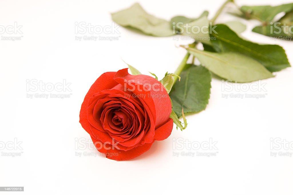 rose Lizenzfreies stock-foto