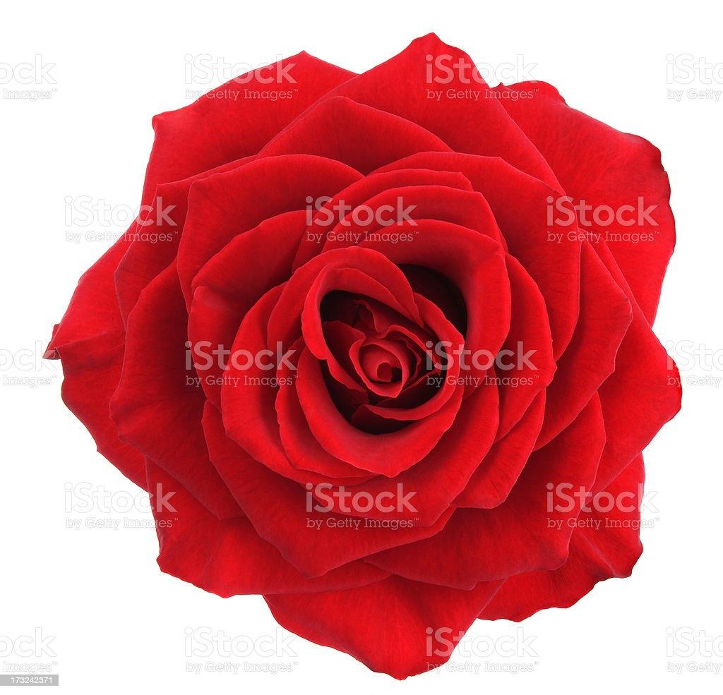 Rose. royalty-free stock photo