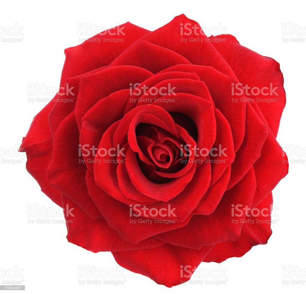 Rose. stock photo