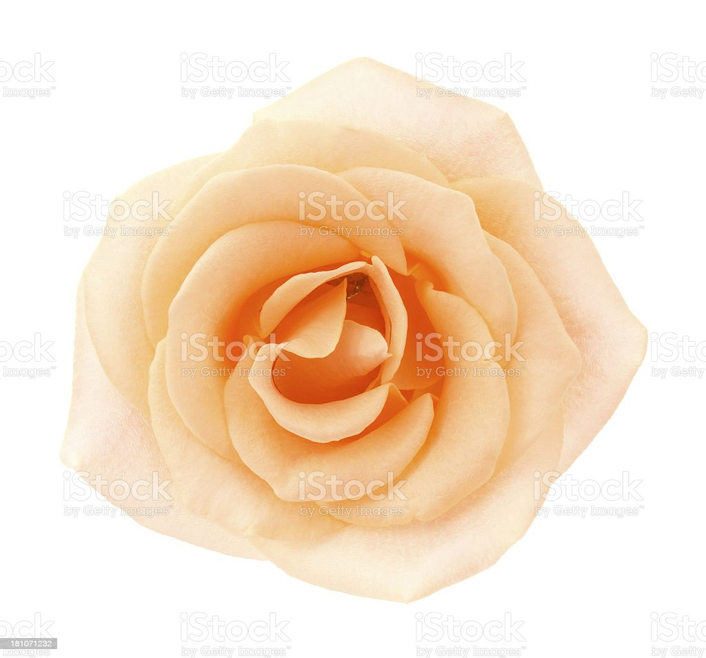 Rose. royalty-free stock photo
