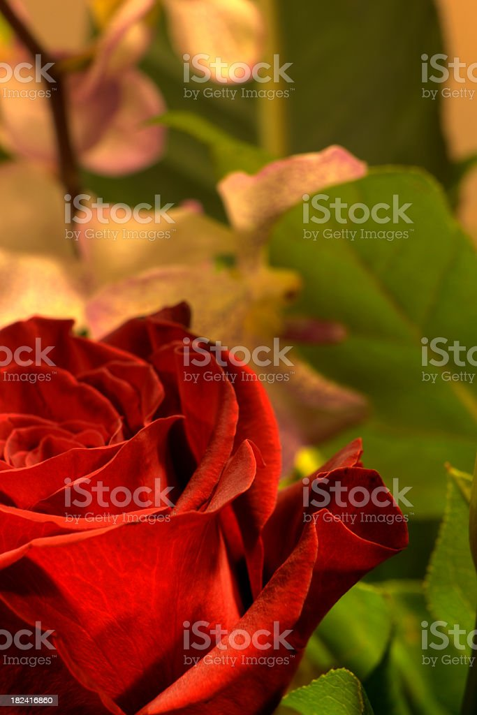 HDR rose royalty-free stock photo