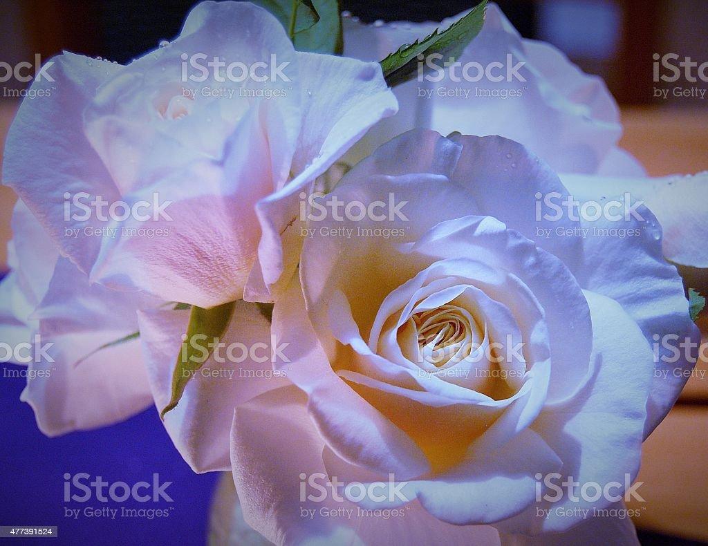 Rose zbiór zdjęć royalty-free