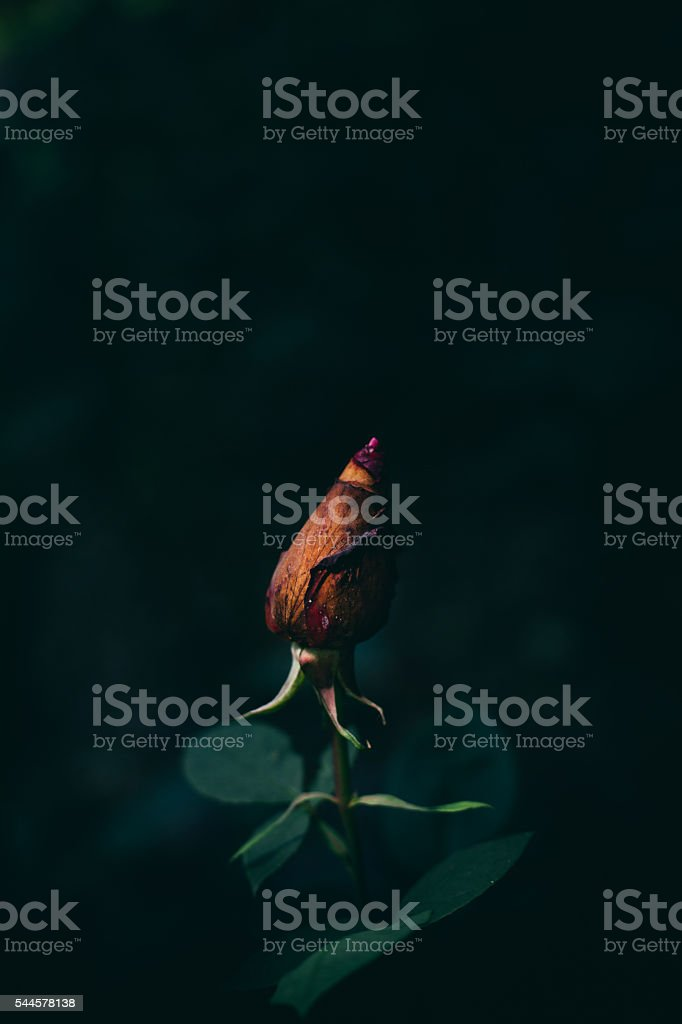 Rose stock photo