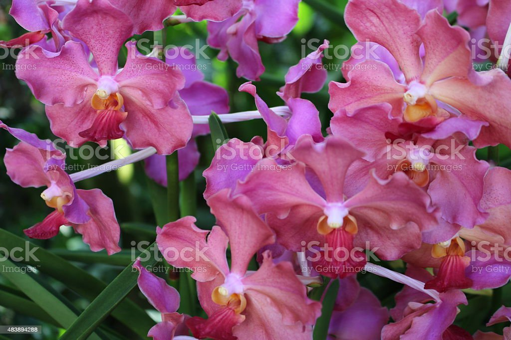 Rose Pink Orchids stock photo