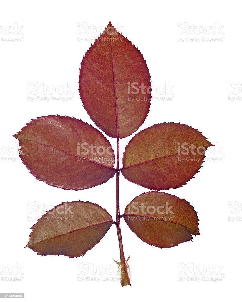 Rose plant leaf stock photo