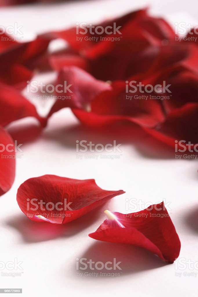 rose plant royalty-free stock photo