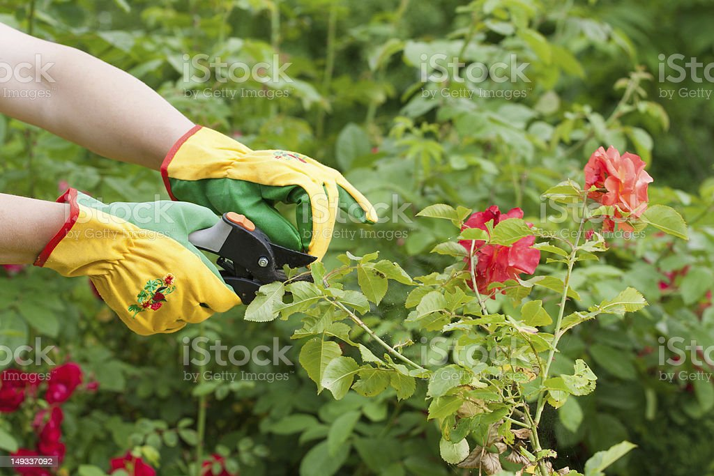 Rose pruning royalty-free stock photo