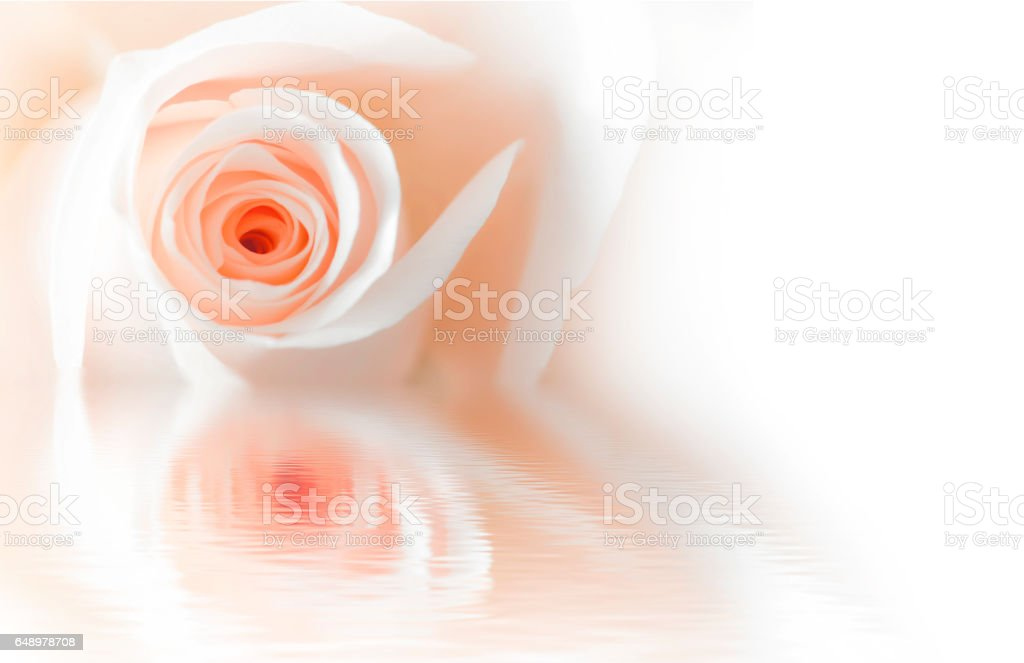 rose reflected in water isolated on a white background. stock photo