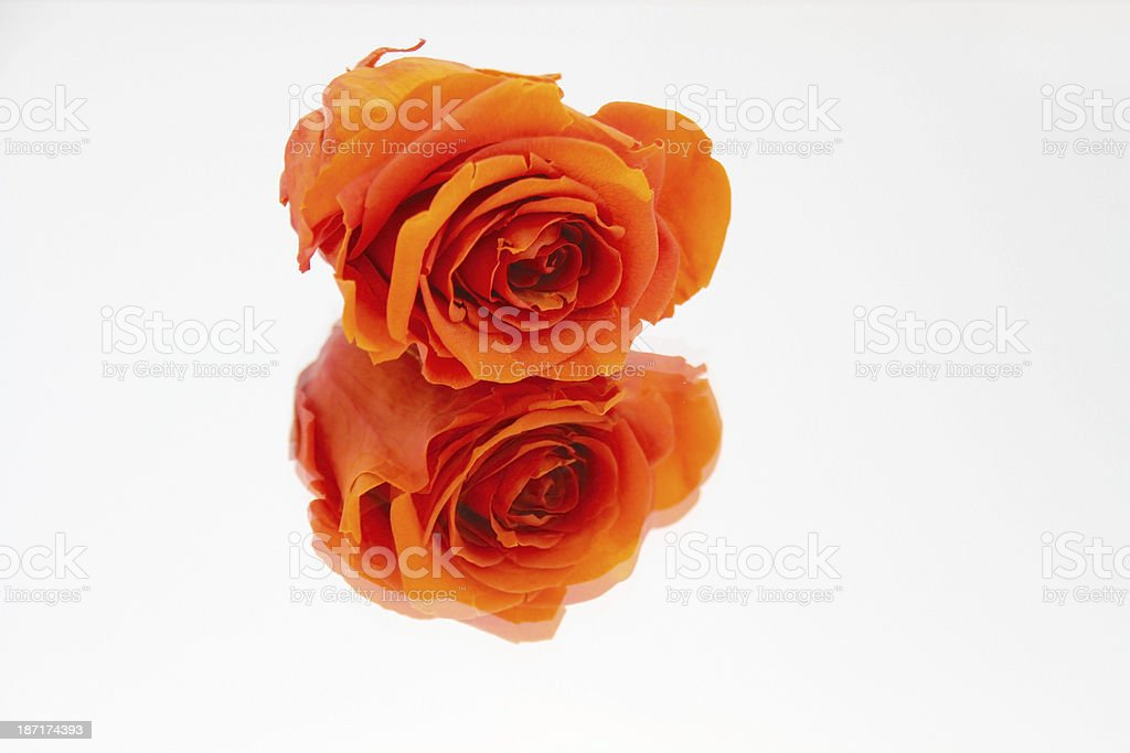 rose reflection royalty-free stock photo