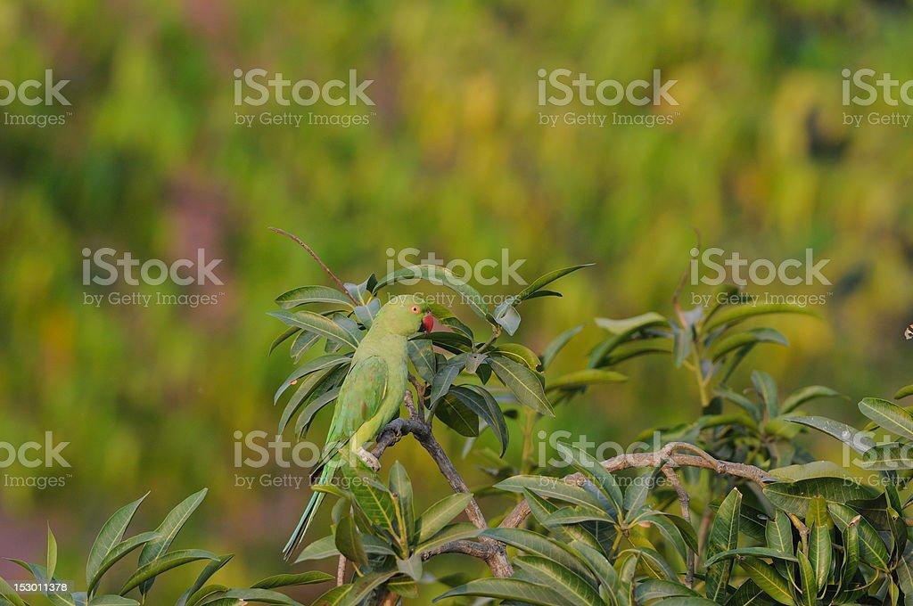 Rose Ringed Parakeet royalty-free stock photo