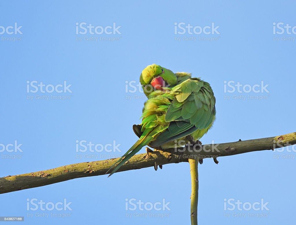 Rose ringed parakeet preening stock photo