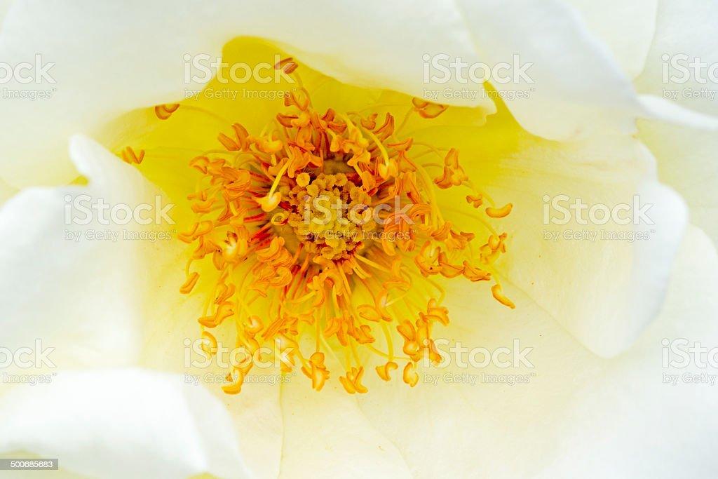rose  Rosa 'Jacare' stock photo