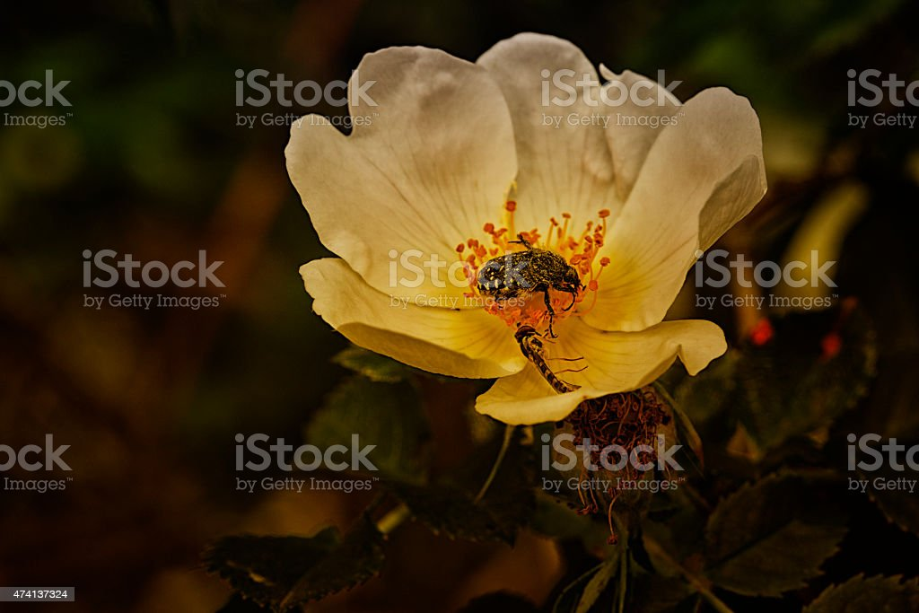 Rose églantine et insectes stock photo