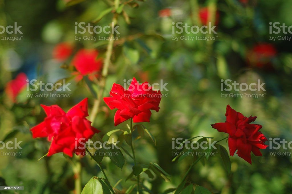 rose rosse stock photo