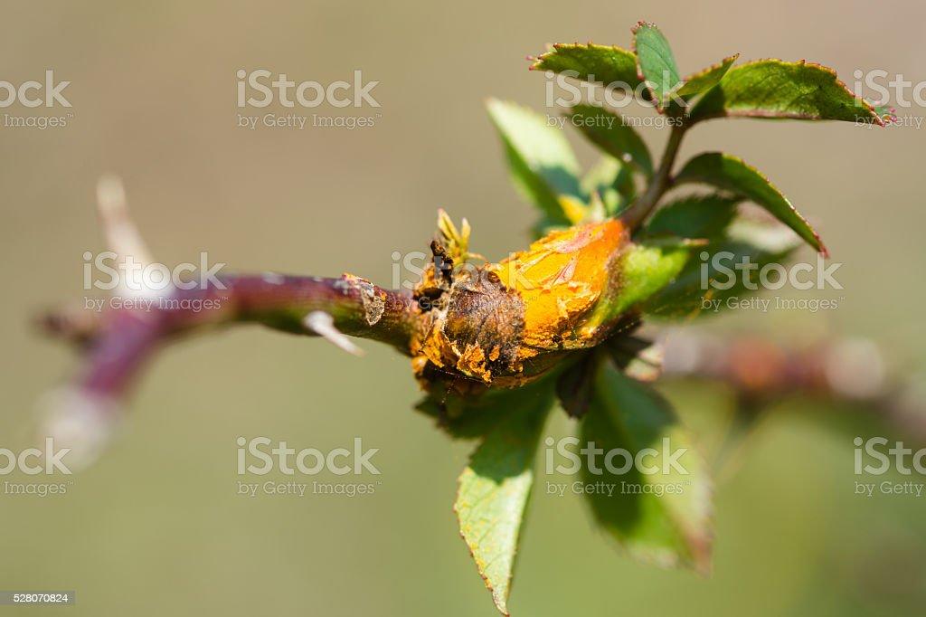 Rose rust fungus (Phragmidium mucronatum) on dog rose (Rosa canina) stock photo