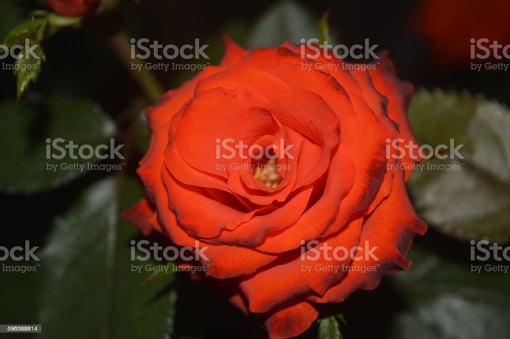 Rose Speaks Of Love Silently stock photo