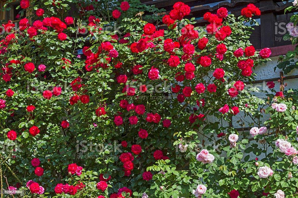 Rose splendor in summer stock photo