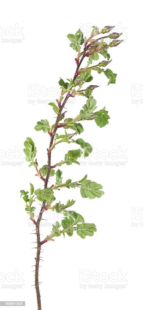 Rose stem with buds not yet sprung royalty-free stock photo