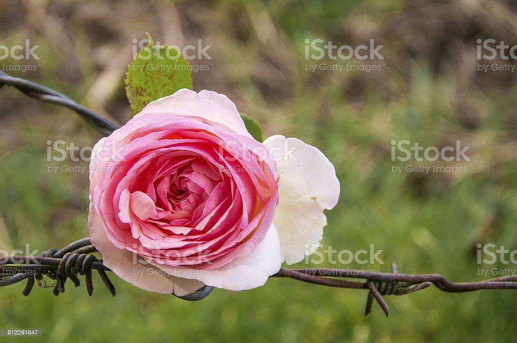 Rose sur fil barbelé stock photo