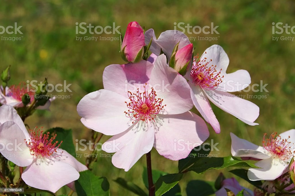 Rose Sweet Pretty stock photo