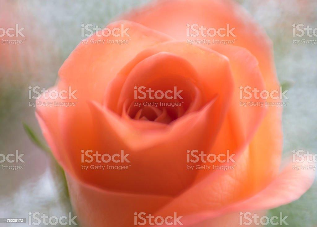 Rose Through Lensbaby Plastic Optic stock photo