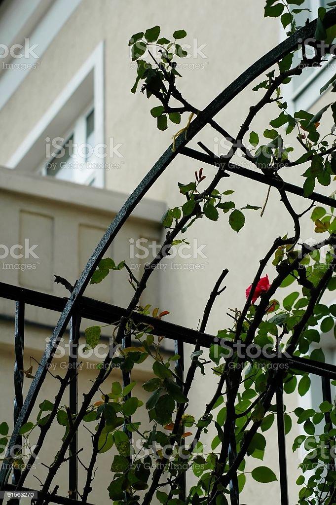 Rose tree on the iron construction royalty-free stock photo