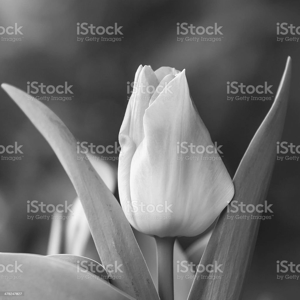 rose tulip close up in BW royalty-free stock photo