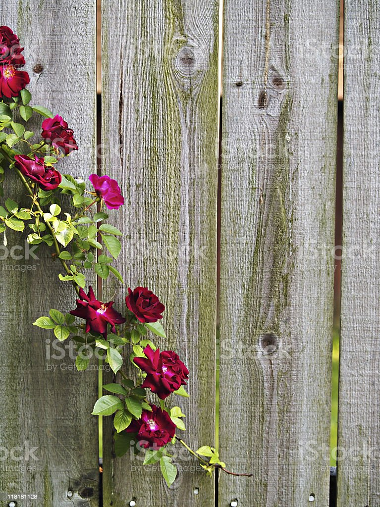 Rose Vine royalty-free stock photo