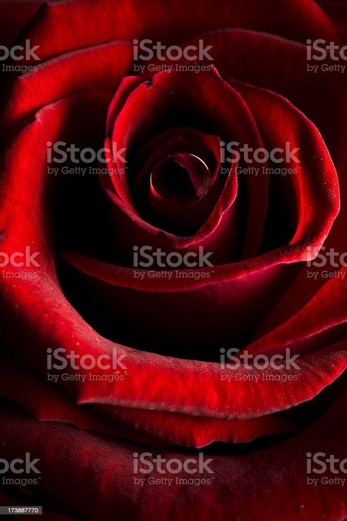 Rose waterdrop royalty-free stock photo