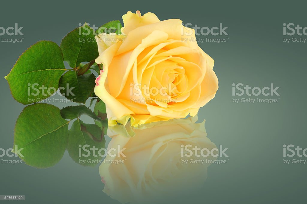 Rose with clipping path without mirroring. stock photo