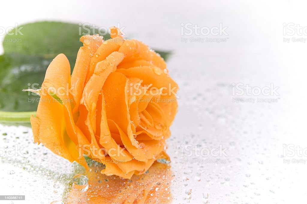Rose with dew drops. royalty-free stock photo