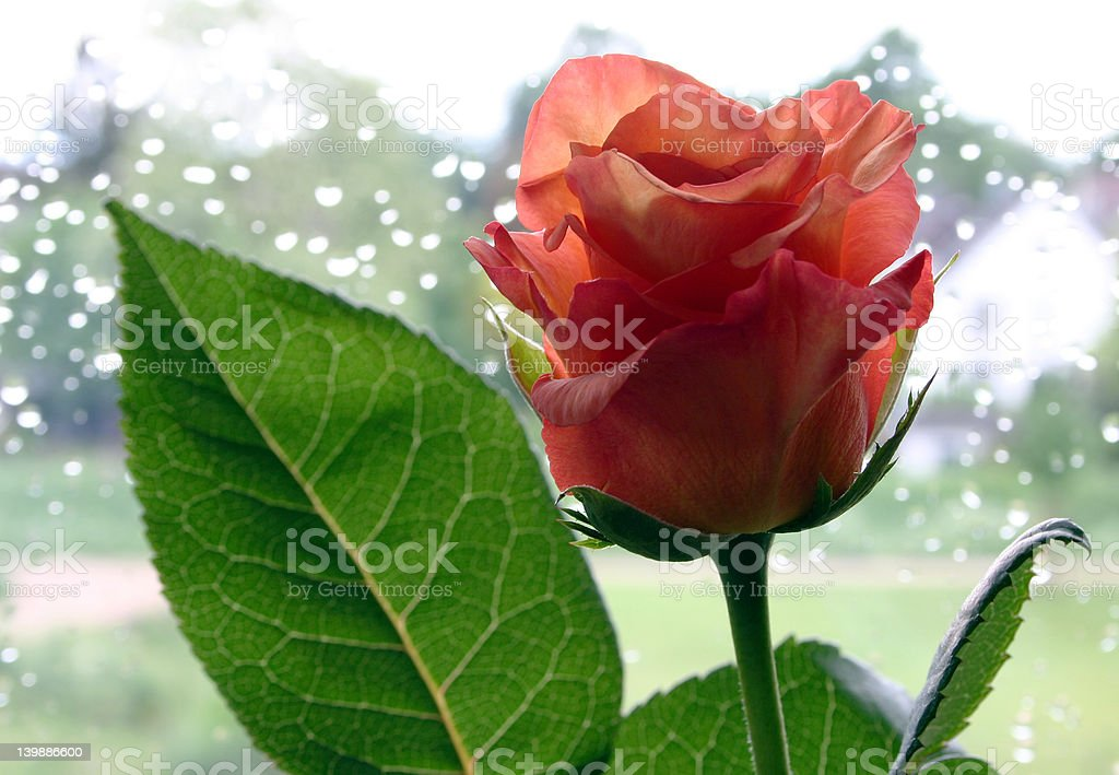 Rose with green leaf royalty-free stock photo