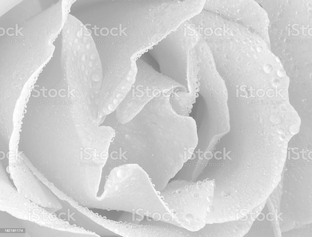 Rose with rain drops stock photo
