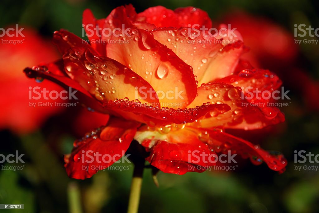 Rose withwater drops royalty-free stock photo